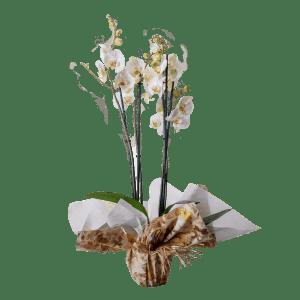 7506667 300x300 - Orquidea Phalaenopsis