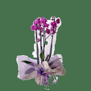 7506670 300x300 - Orquidea Phalaenopsis