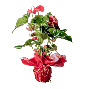 7506675 300x300 - Anthurium rojo