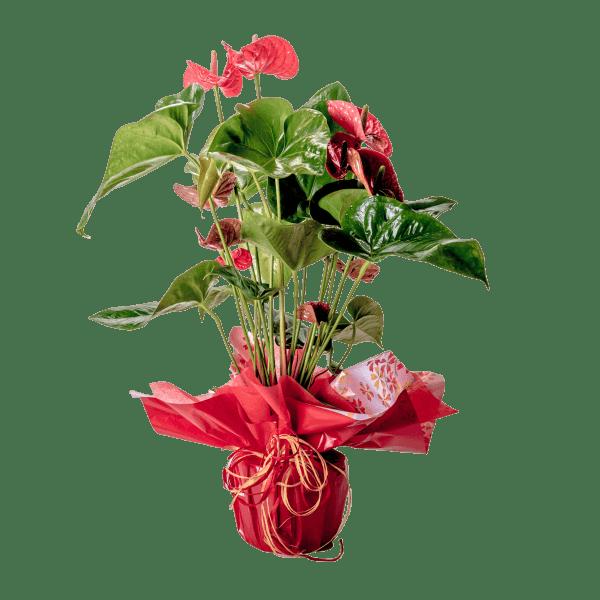 7506675 600x600 - Anthurium rojo
